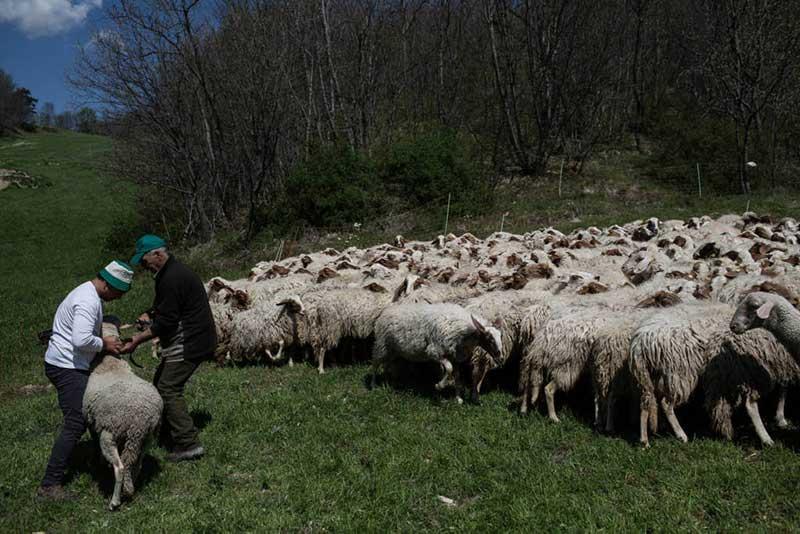 Twee herders in een wei houden een schaap vast en verderop staat nog een kudde schapen