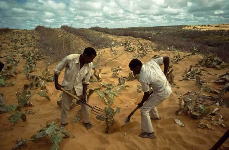 Twee mannen planten een struik in een droog woestijngebied met los zand