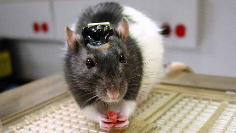 Grey and white rat with a brain implant attached to its head